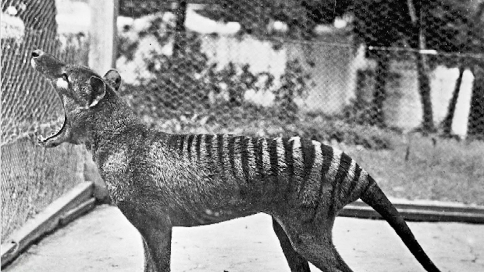 'Precious' footage from 1935 of last-known Tasmanian tiger released