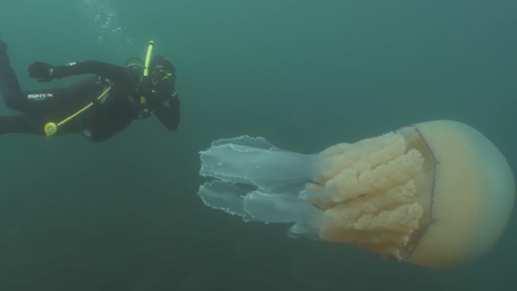 Giant jellyfish spotted by diver off English coast