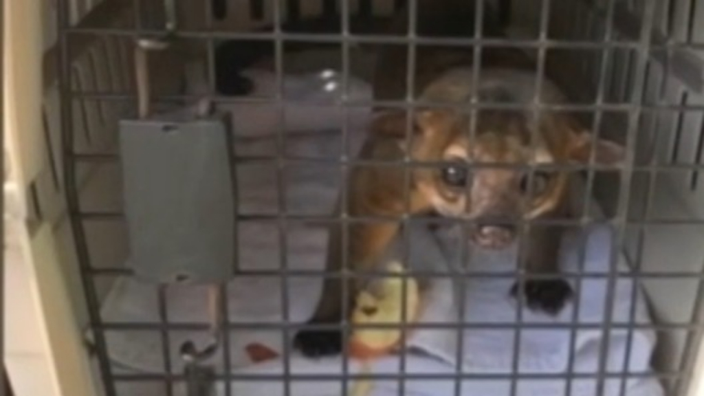 Florida news: A tiny kinkajou sneaked into a man's home and attacked
