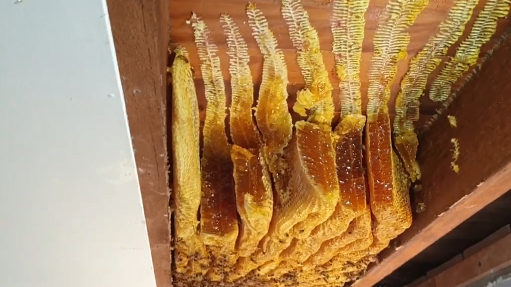 Giant beehive found in Brisbane ceiling
