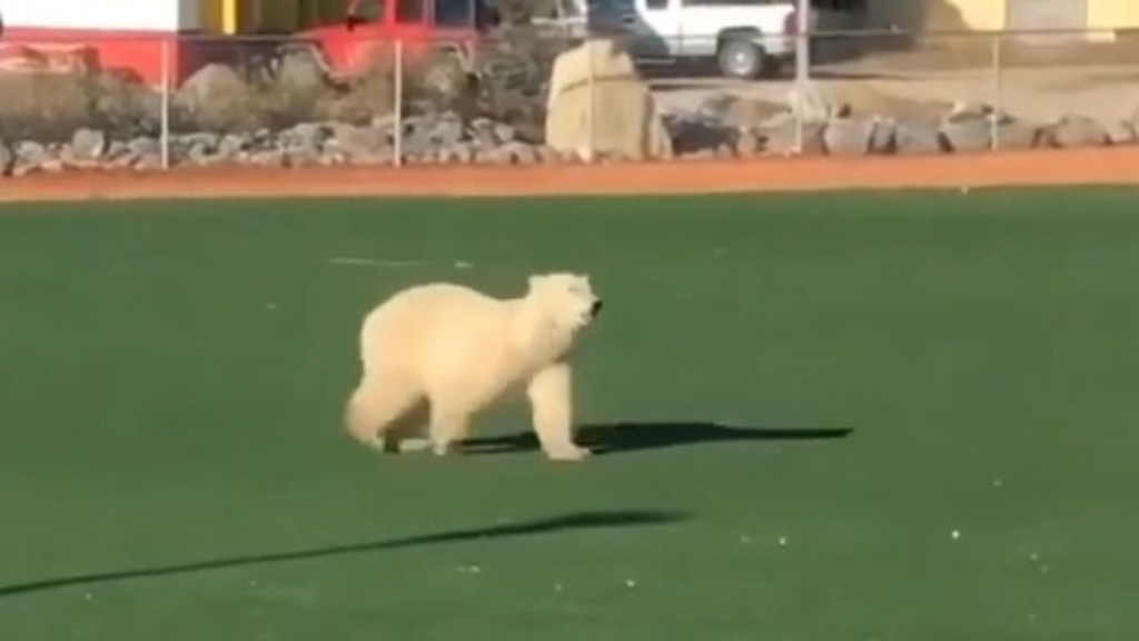 Polar bear wanders across a baseball field in Manitoba