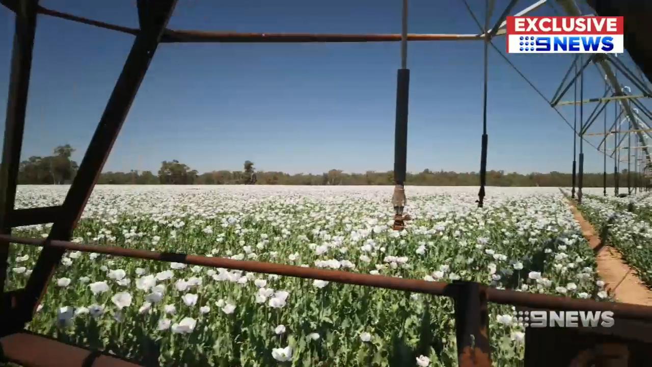 Inside NSW's vast poppy fields