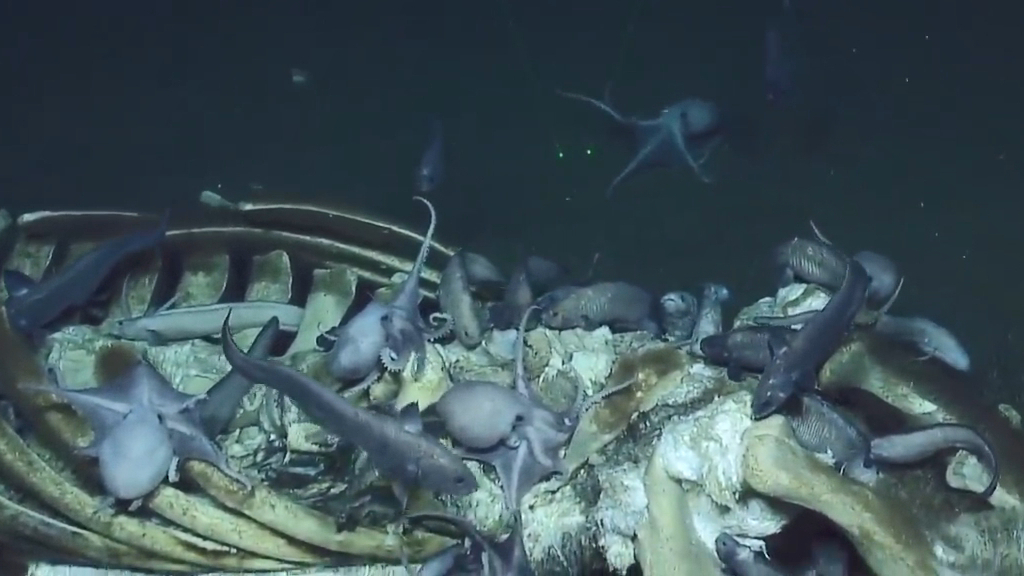 Whale carcass becomes a meal for hungry octopuses