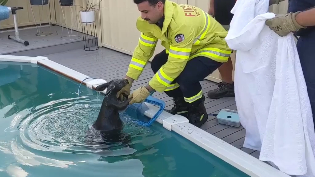 Firefighters rescue roo from backyard Sydney pool