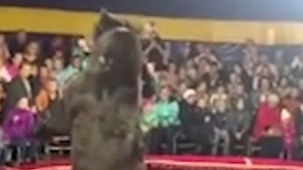 Witness films the moment circus bear attacks and injuries trainer