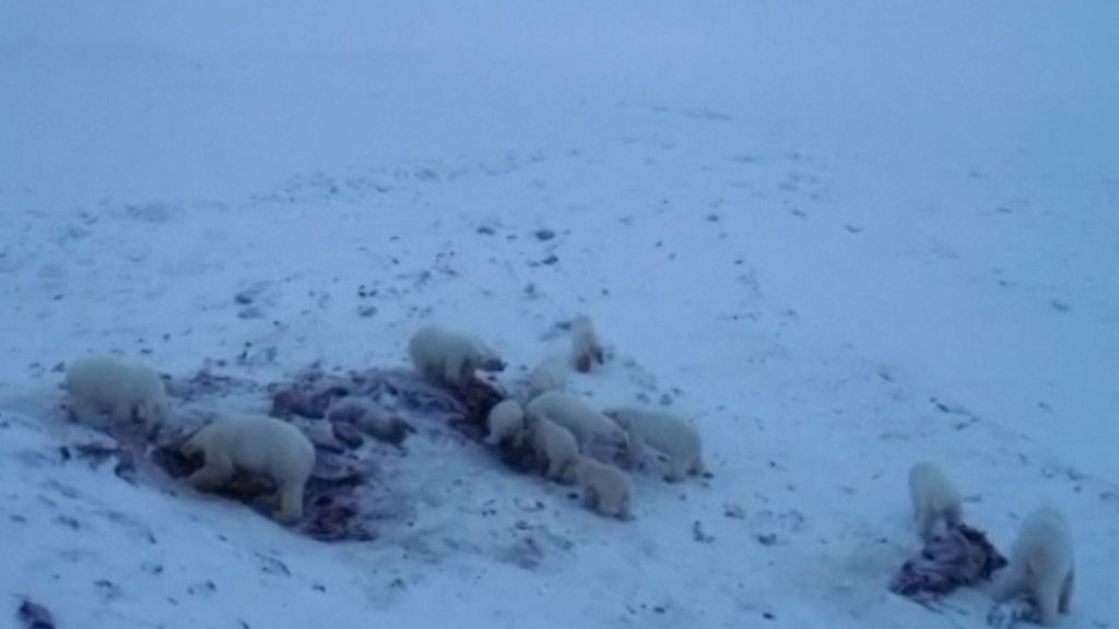 Footage shows polar bears eating walrus carcasses