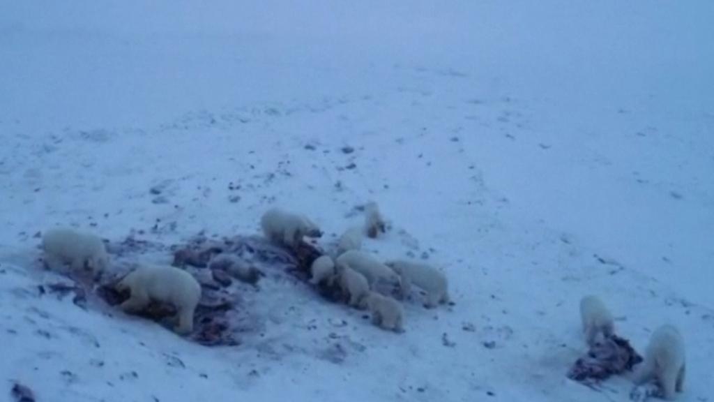 Footage shows polar bears eating walrus carcasses