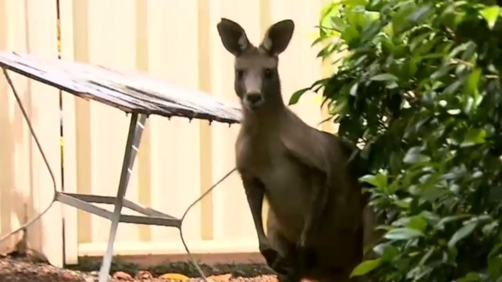 Kangaroo crashes in Box Hill retirement village
