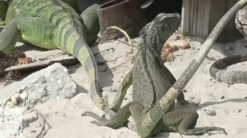 Green iguanas invading Florida