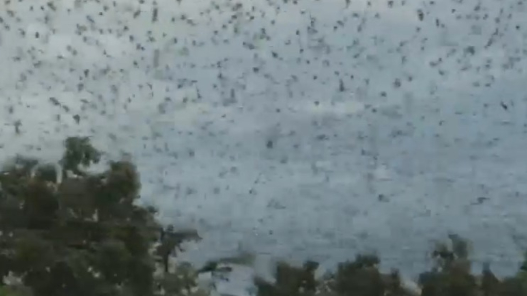 Fruit bats descend on Queensland town