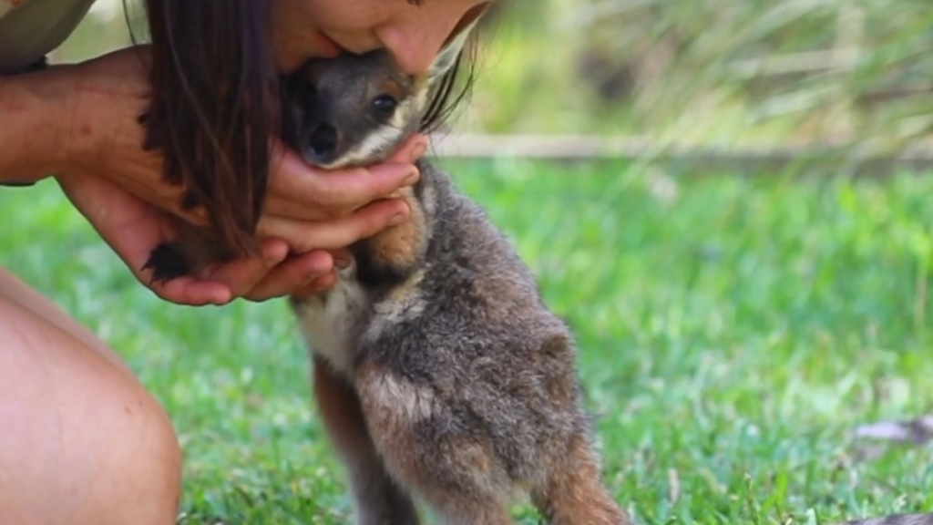 Baby joey takes first steps on Australia Day