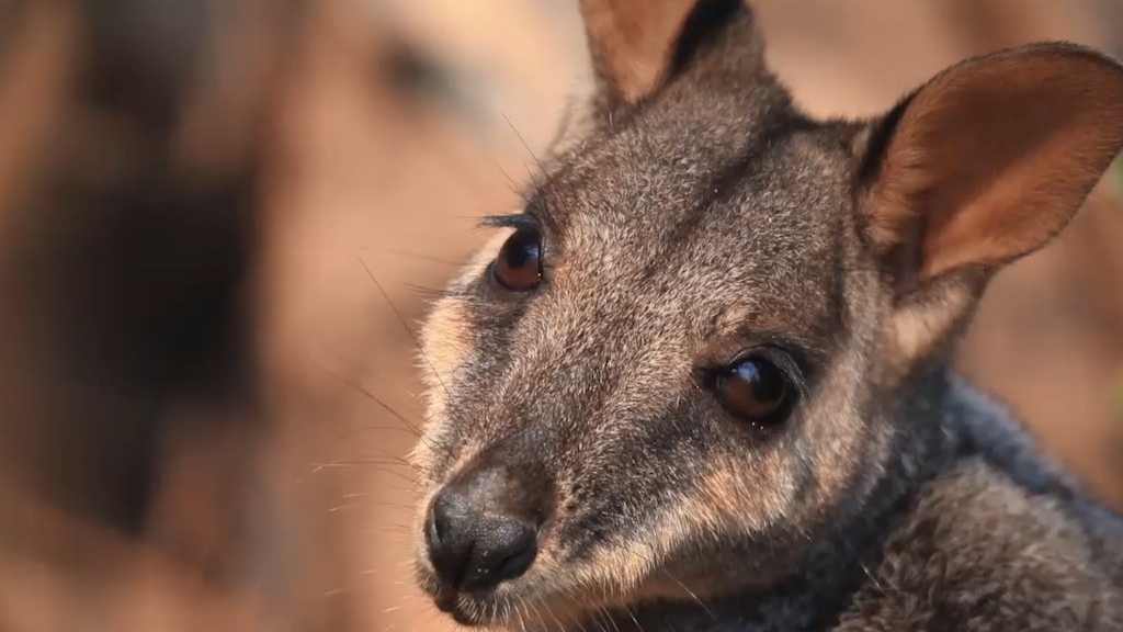 Brush tailed rock wallabies dying after bushfires