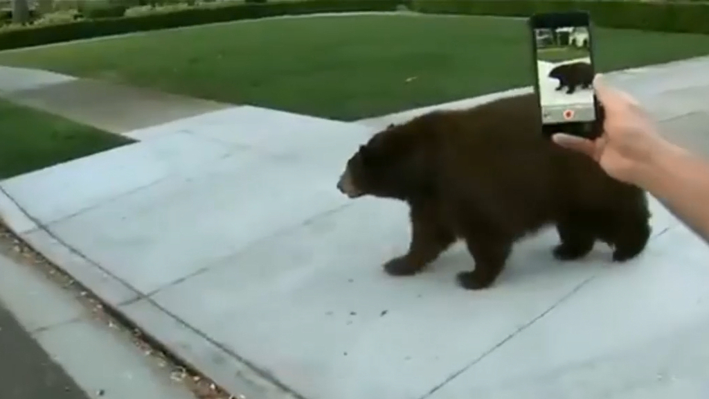 Big, old bear wanders into Los Angeles suburb