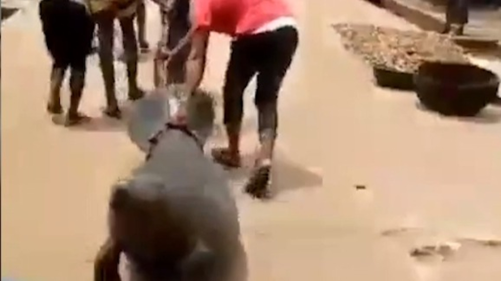 Nigeria probes distressing video of endangered manatee torture