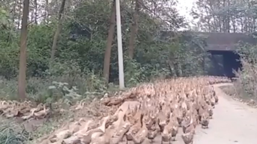 CHINA's ARMY TO DEPLOY 100,000 DUCKS TO COMBAT LOCUST PLAGUE IN PAKISTAN