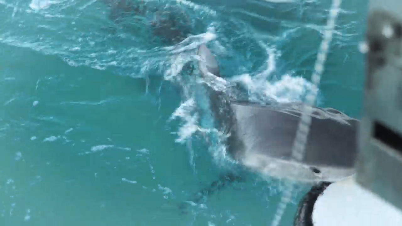 Tiger shark: NSW diver shocked as predator takes repeated bites of boat