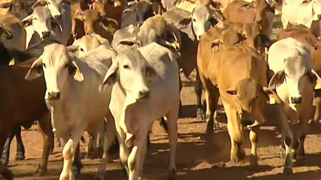Ban on live cattle exports to Indonesia ruled invalid