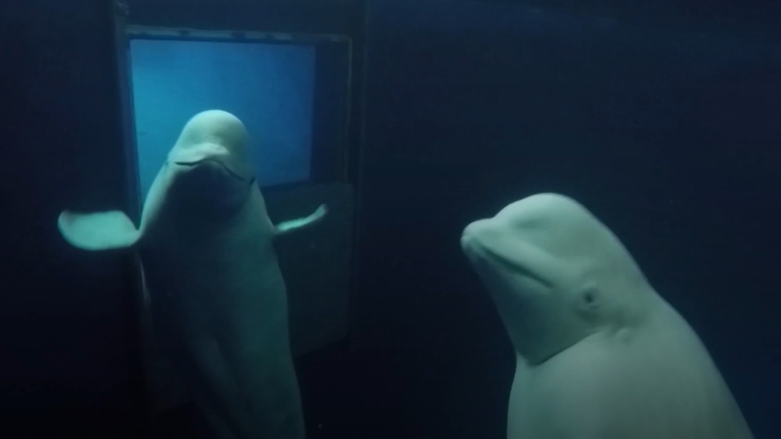 Beluga whales set free after years in captivity
