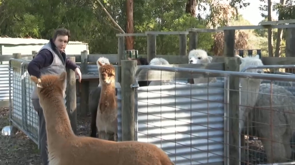 Coronavirus: Melbourne researchers using alpacas to find alternative treatment