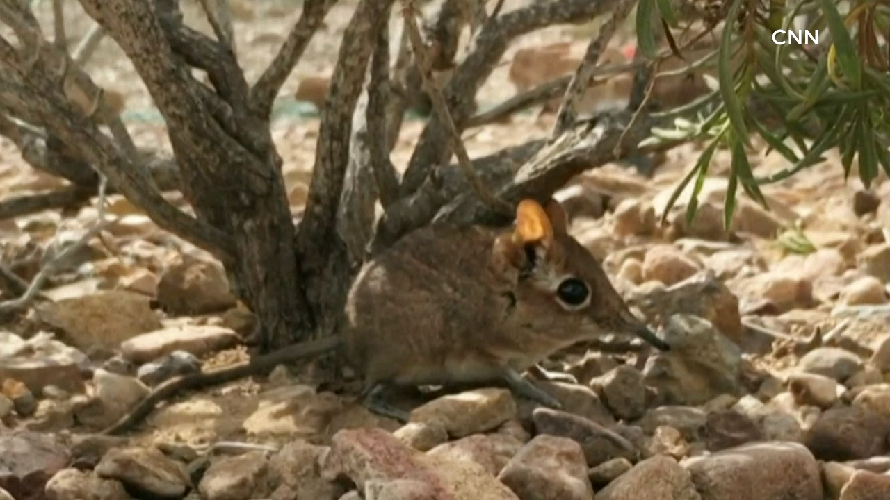 Elephant shrew, thought 'lost to science' in 1968, seen in Africa