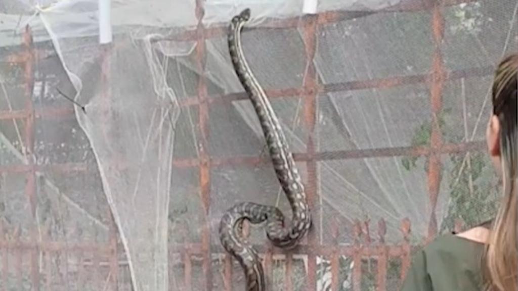 Giant snake seen climbing fence in Brisbane's CBD