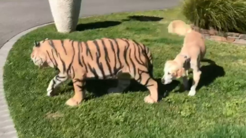 Man has life-size tiger stolen from his front yard