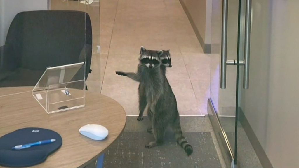 How a pair of raccoons (probably) broke into a bank for cookies