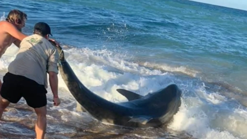 Fishermen reel in tiger shark