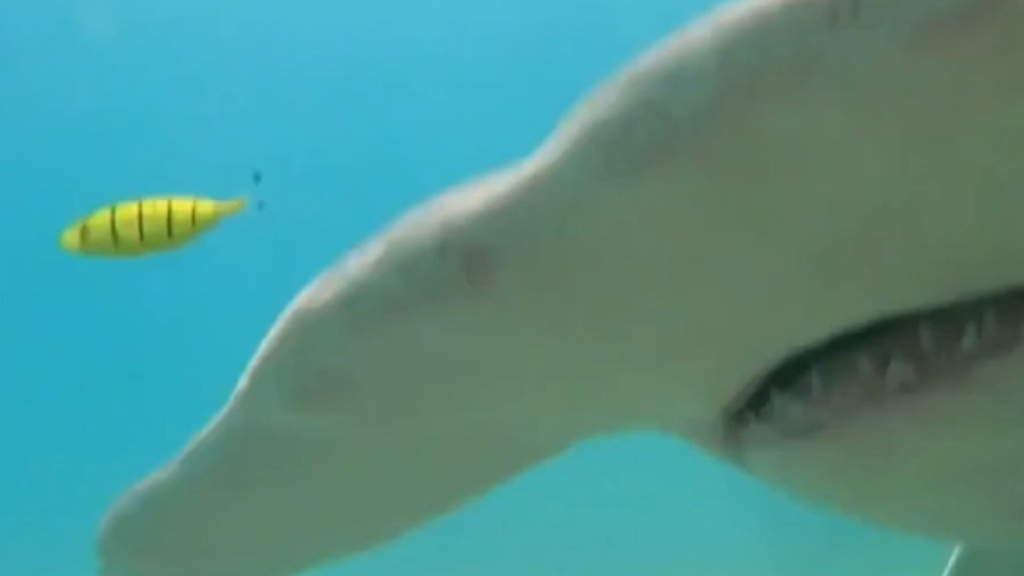 North Queensland spear-fisher fights hammerhead