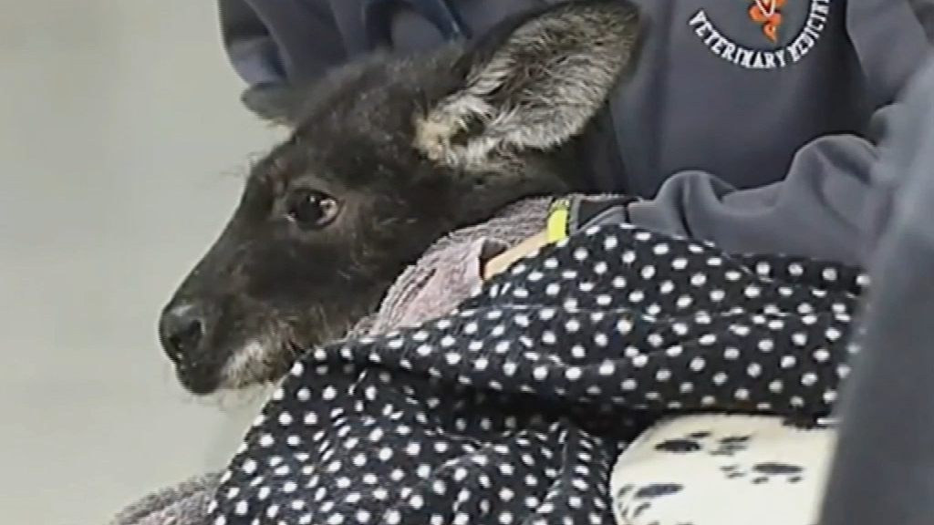 Wallaroo leads US authorities on a bizarre chase