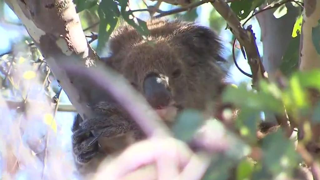 KoalakidnappedfromAdventureWorldfound