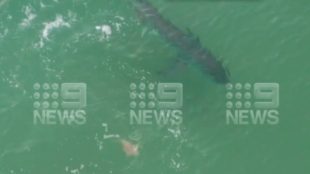 Great White shark spotted near Jarvis Bay
