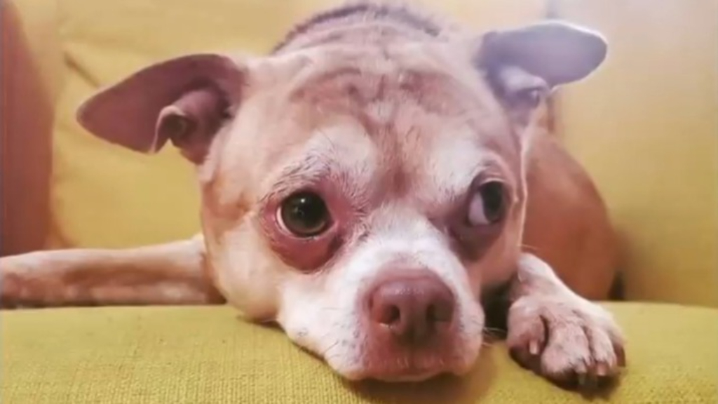Demonic Chihuahua's new owner says he has given her a new lease on life