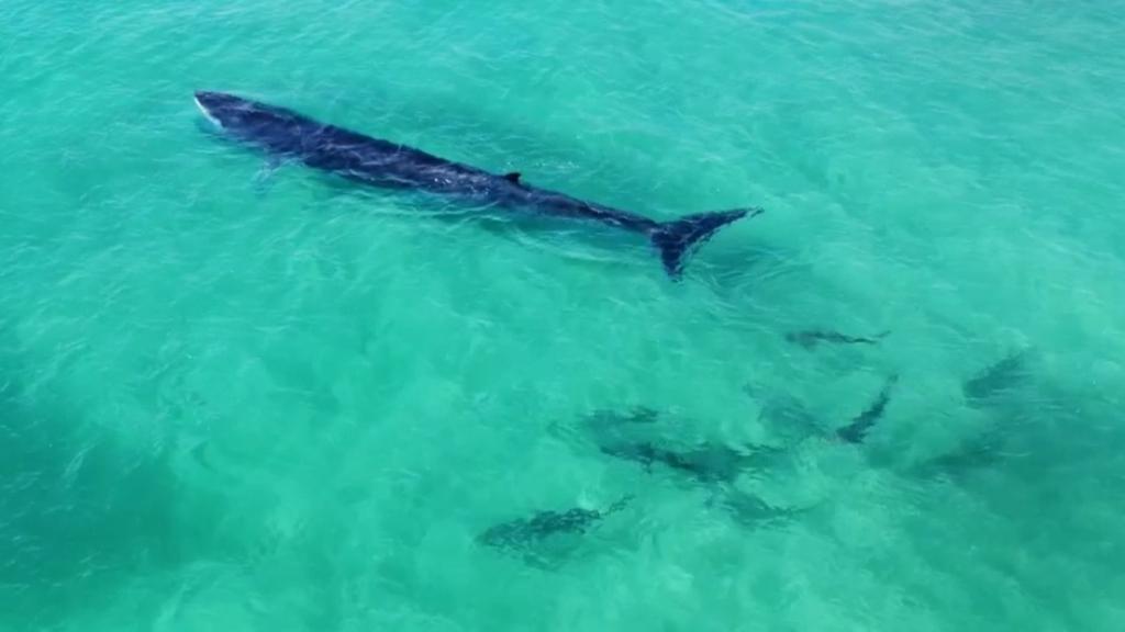 Multiple sharks spotted feeding off Fraser Island