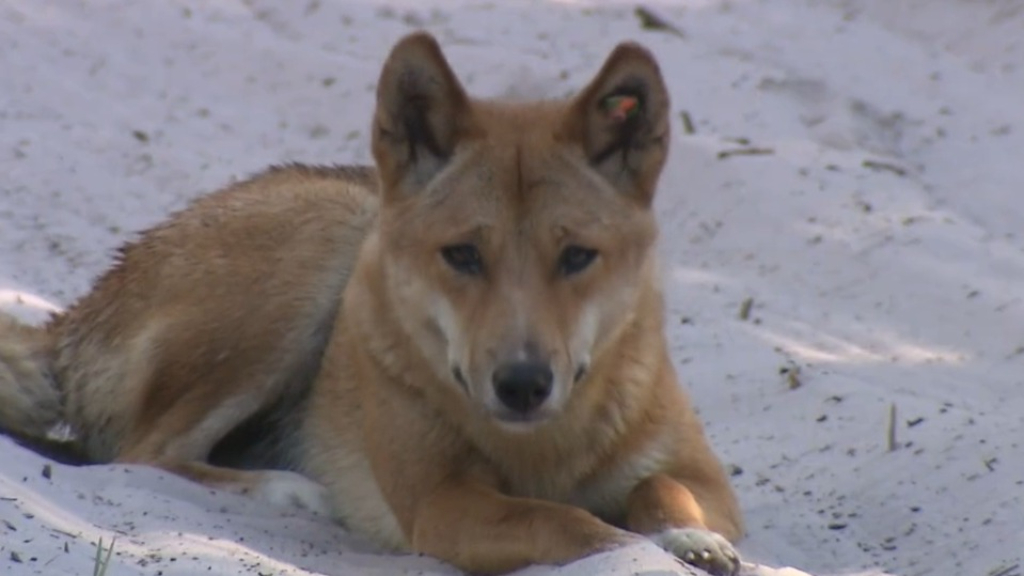 More dingo fences planned for Queensland's Fraser Island