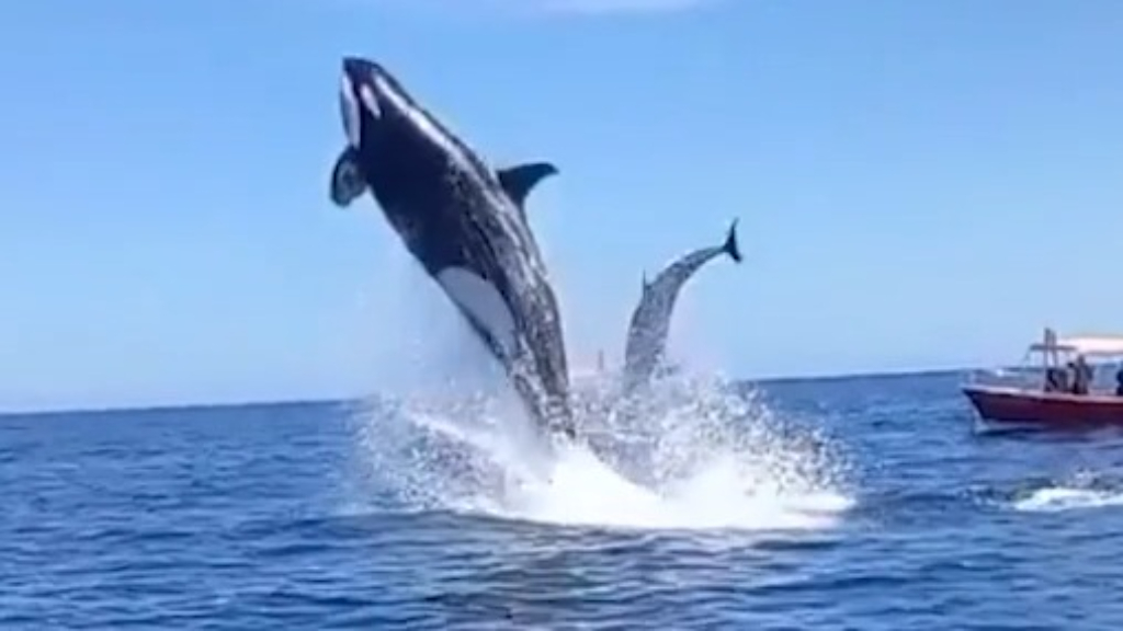 Orca thumps dolphin in mid-air collision