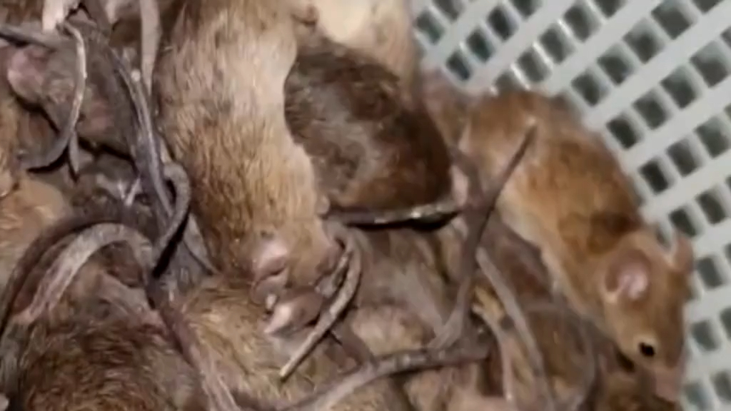 Cold weather slowing mouse plague