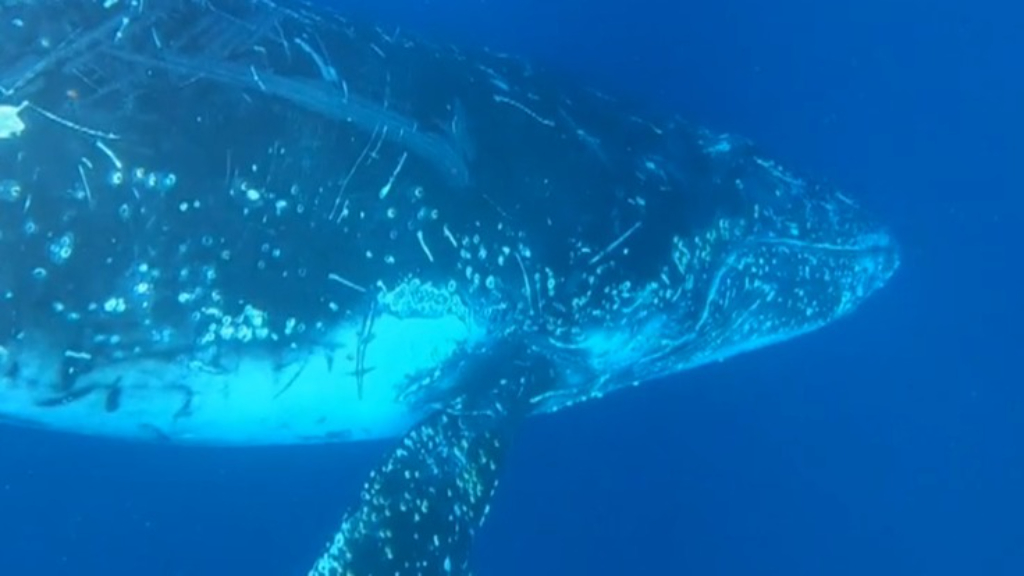 Sydney divers swim with humpback whales