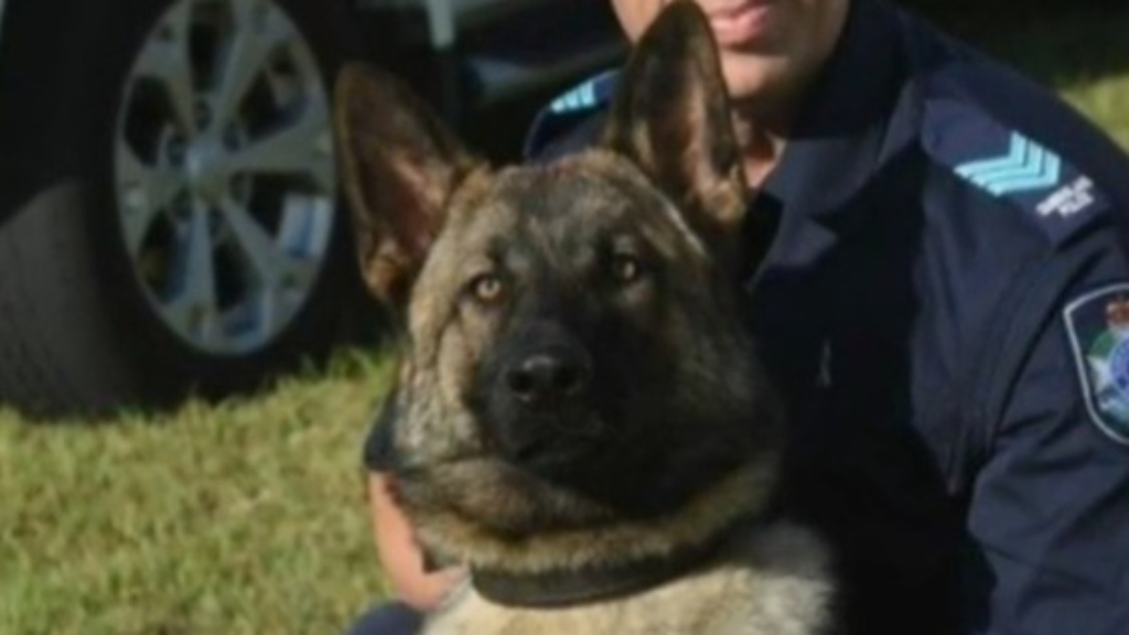 Queensland Police dog dies while hunting wanted fugitive