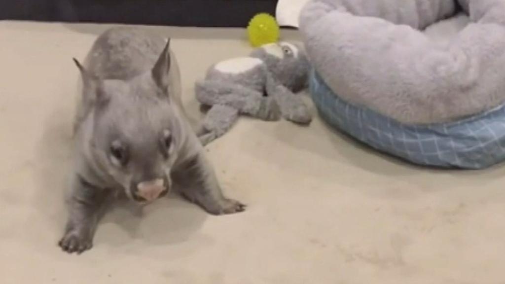 Wombat's 'zoomies' go viral