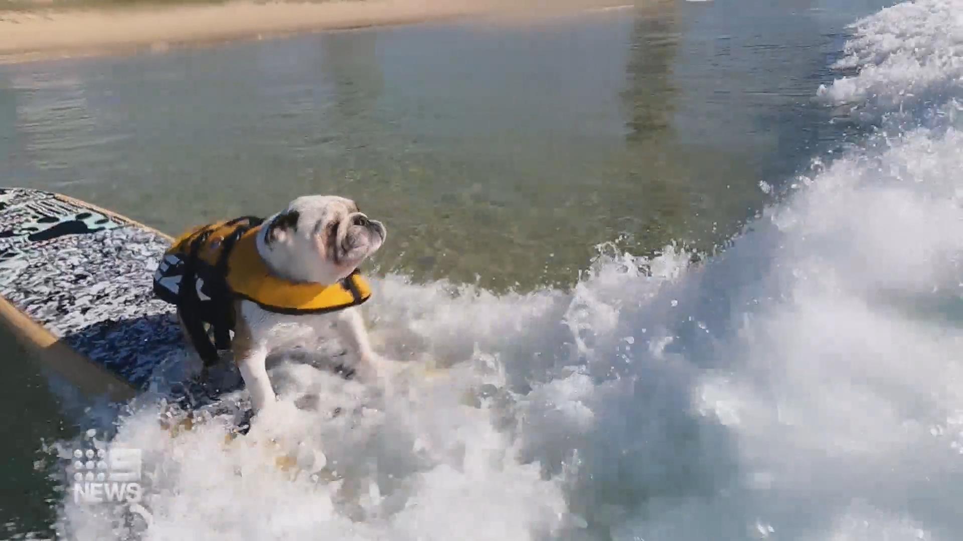 Gold Coast French bulldog a surfing natural