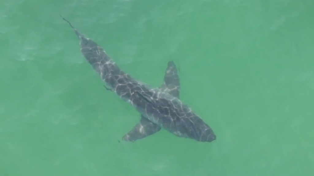 Drone photographer documents great white encounters along Californian beaches