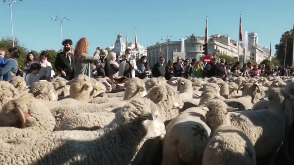 Sheep take over the streets of Madrid
